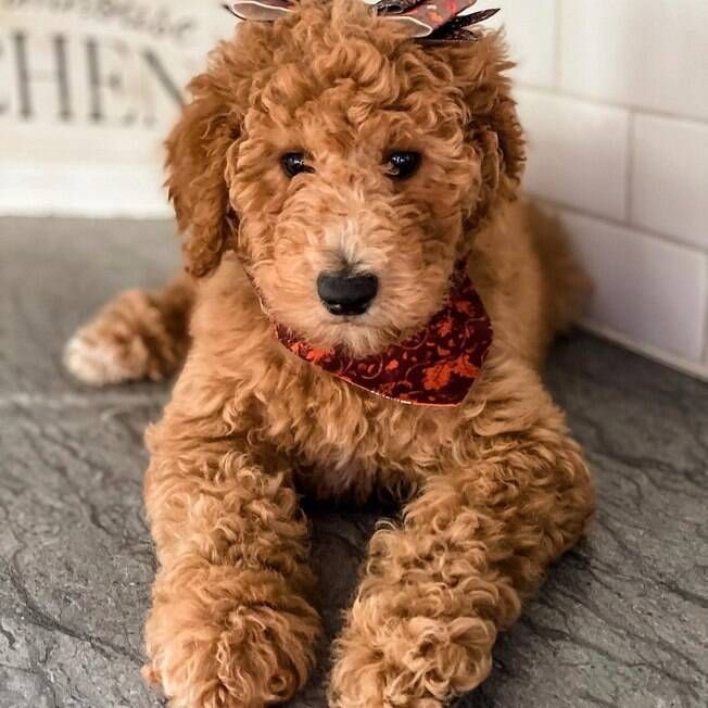 Jersey a goldendoodle